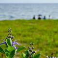 Photos: 浜辺の花