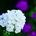 白いオイランソウ