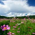 Photos: 夏空と秋桜