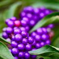 紫式部 改め 小紫