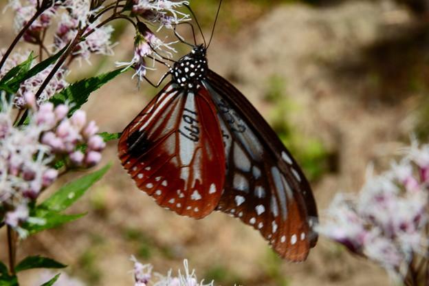 マーキング蝶 1