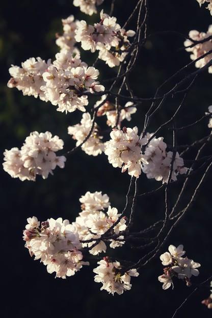 夕陽を浴びた桜