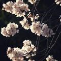 Photos: 夕陽を浴びた桜