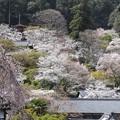 長谷寺の春
