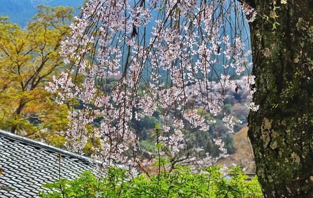 長谷寺の枝垂れ桜