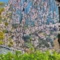 Photos: 長谷寺の枝垂れ桜
