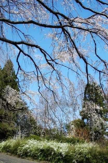 植物園の枝垂れ桜