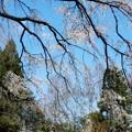 Photos: 植物園の枝垂れ桜