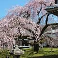 Photos: 醍醐寺の桜