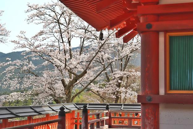 塔の下から眺める桜
