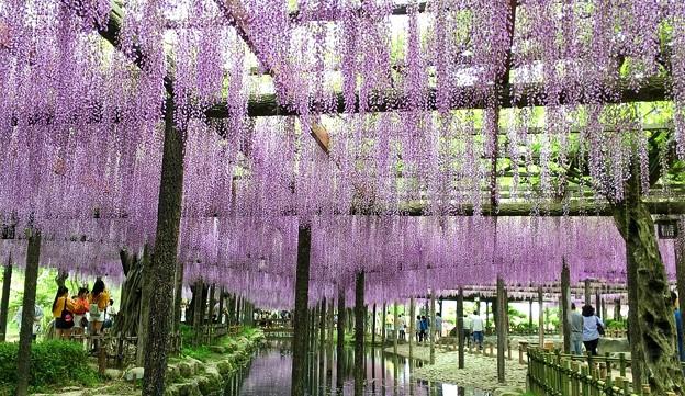 天王川公園の藤棚
