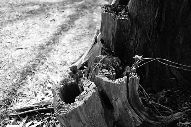 朽ちていく木…2