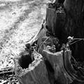 Photos: 朽ちていく木…2