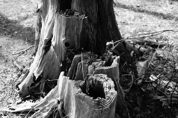 朽ちていく木…4