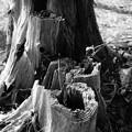 Photos: 朽ちていく木…4