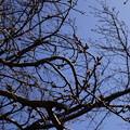 Photos: 桜の芽