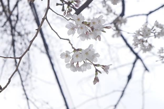 桜並木にて…1