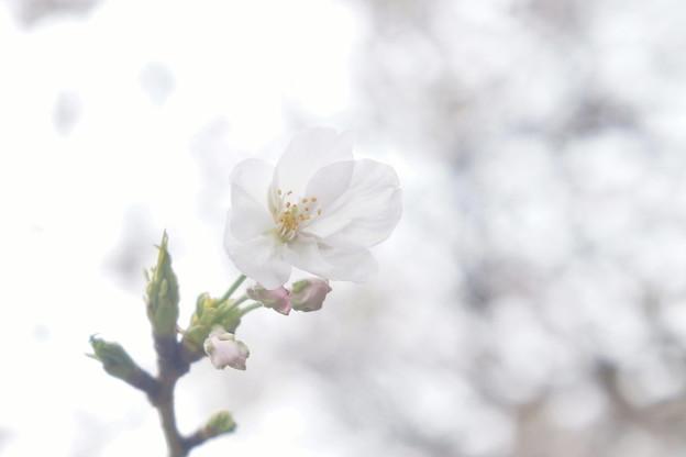 桜並木にて…2