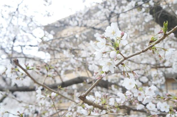 桜並木にて…3