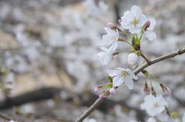 桜並木にて…4
