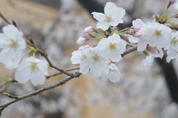 桜並木にて…8