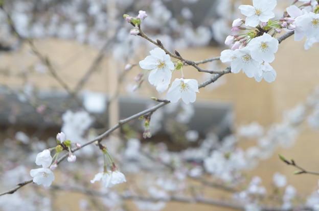 桜並木にて…9
