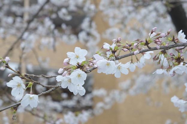 桜並木にて…10
