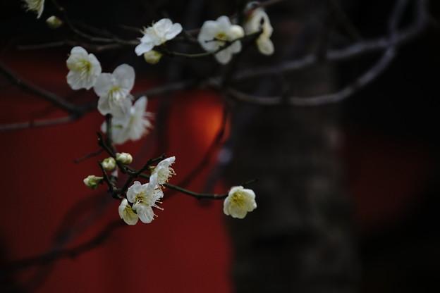 Photos: 天神の梅