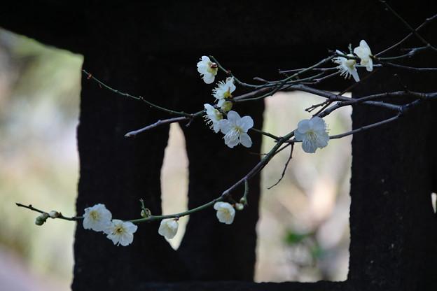 Photos: 春のメロディ