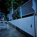 Photos: 紫陽花の咲く道