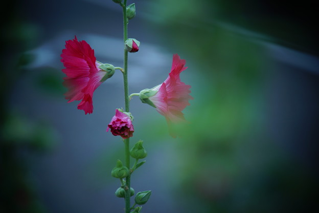 Photos: 夏を告げる花