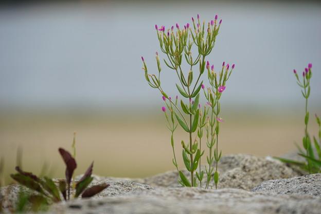 浜に咲く花