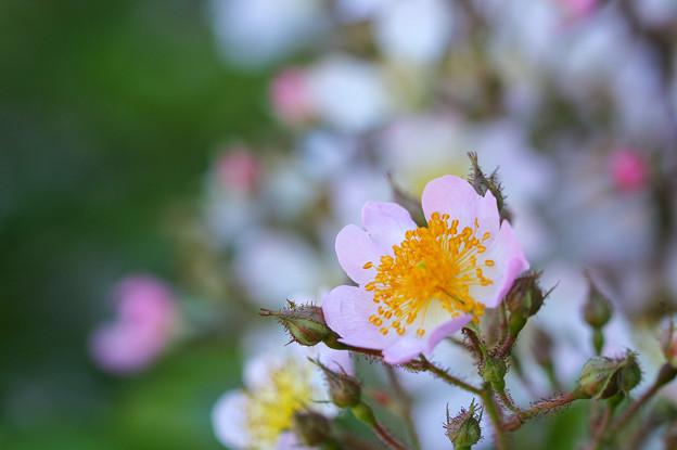 ピンクと白い花