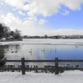 高松の池、白鳥 (1)