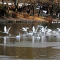 高松の池、白鳥 (6)