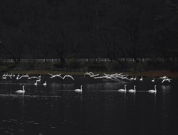 Photos: 高松の池、白鳥 (2)