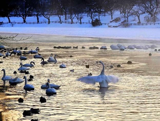 Photos: 高松の池、白鳥 (3)