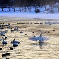 高松の池、白鳥 (3)