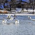 高松の池、白鳥 (4)