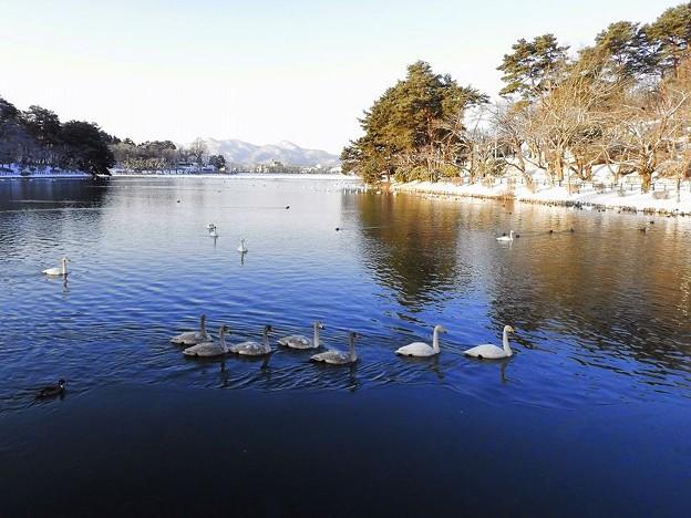 Photos: 高松の池、白鳥 (7)