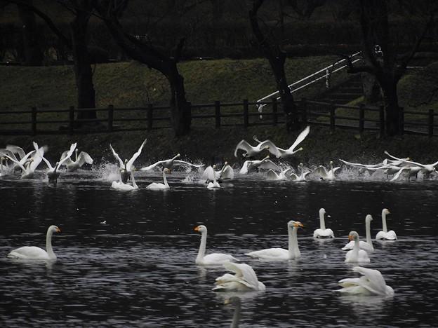 Photos: 高松の池、白鳥 (9)