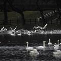 高松の池、白鳥 (9)