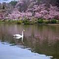 高松の池、桜 (2)