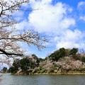 高松の池、桜 (3)