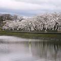 高松の池、桜 (4)