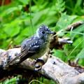キビタキ 幼鳥(3)