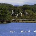 高松の池、白鳥風景 (1)