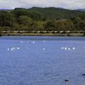 高松の池、白鳥風景 (3)
