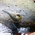 ヤマガラ幼鳥 (1)