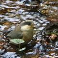 ヤマガラ幼鳥 (2)